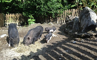 our own pot-bellied pigs